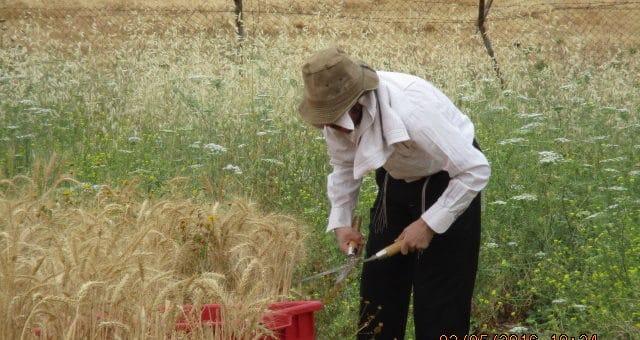 Hand harvesting wheat for Matzoh